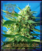 Sweet - Auto Ice Cool - Female 5 Ganja Seeds